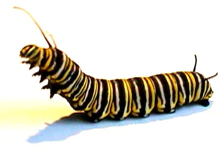 Monarch Butterfly Stages on Contribution  3 Or More  Check Payable To  Live Monarch